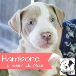 Hambone- Adopted!