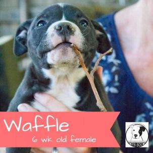 Waffle - Adopted!
