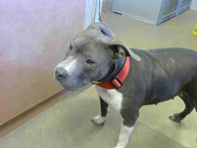 miss piggy adoptable dogs from bradshaw animal shelter sacramento